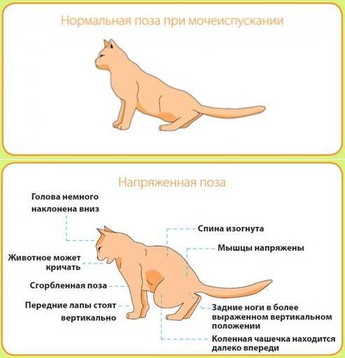 Атаксия у кошек