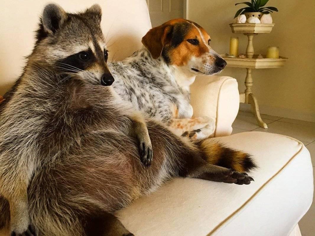 Чем енот отличается от енотовидной собаки