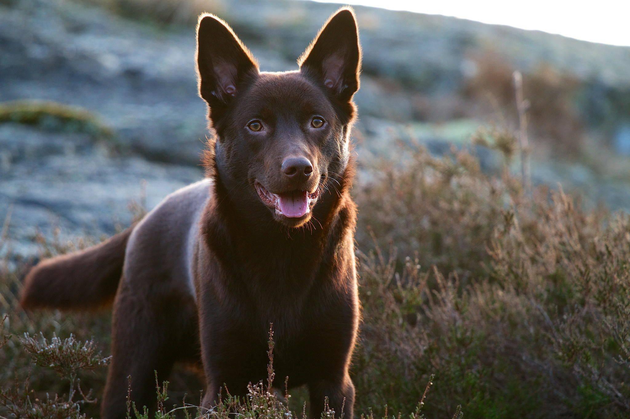 Келпи порода собак. описание, особенности, уход и цена келпи | животный мир