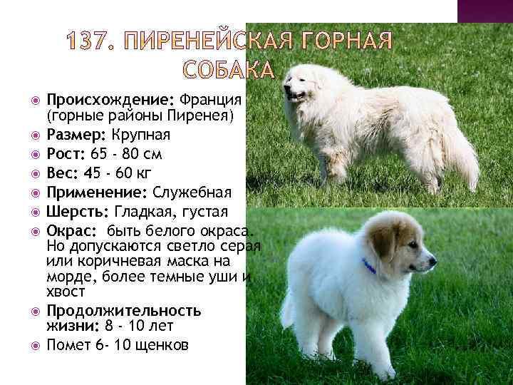 Пиренейская горная собака — большая и величественная представительница собачьего мира