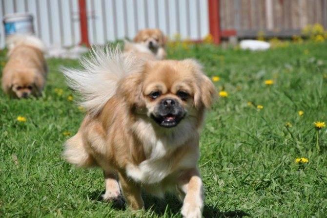 Пекинес - описание породы и характер собаки