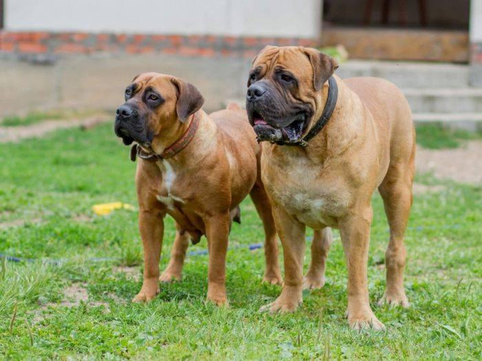 Описание породы собак африканский бурбуль