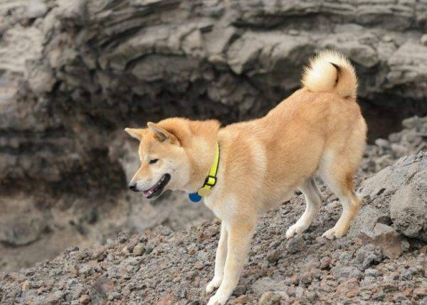 Хоккайдо (хоккайдо-ину, хоккайдская собака, айну, айну-кен): фото, купить, видео, цена, содержание дома