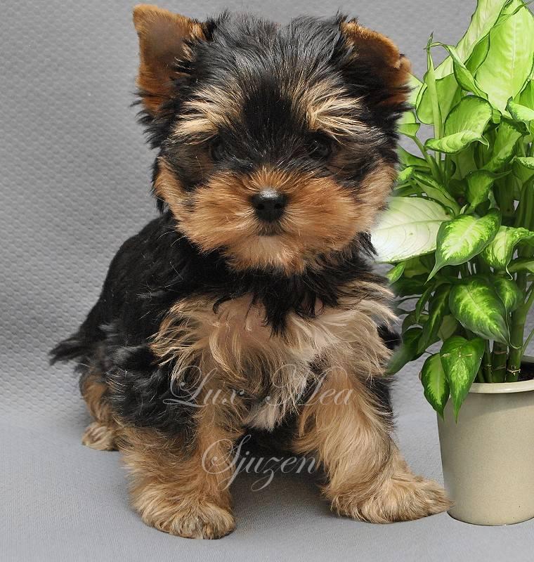 Рекомендации по выбору щенка йоркширского терьера