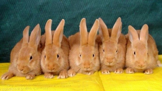 Выращивание бургундских кроликов и уход за ними