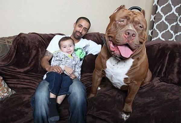 Рейтинг самых толстых собак во всем мире: их истории и описание жизни