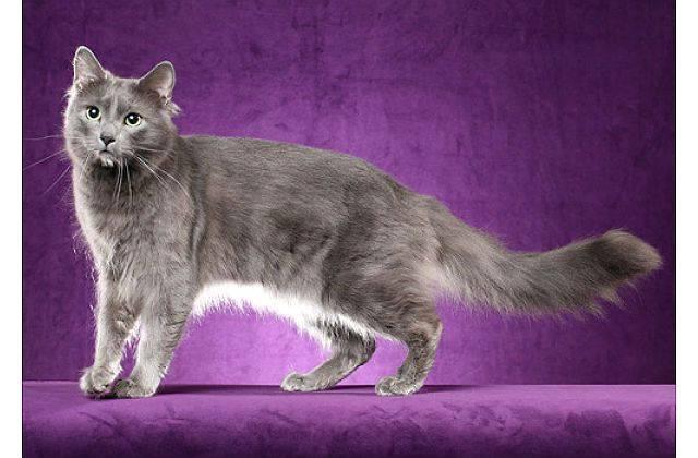Ласковые и спокойные: знакомимся с кошками нибелунгами