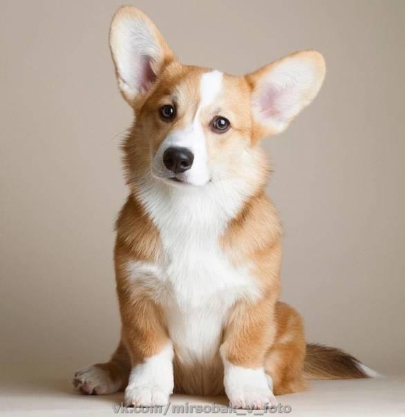 Как называются охотничьи собаки с длинными ушами и короткими ногами