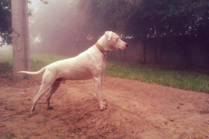 Собачья верность или бои без правил. пакистанский бульдог — бойцовская порода собак гуль донг: описание и характеристика породы и их особенности