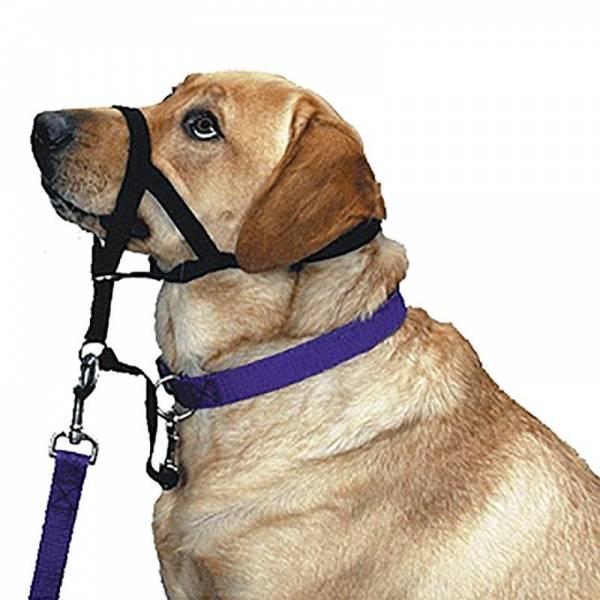 Намордник и шлейка для французского бульдога: как правильно выбрать аксессуары для прогулки и как приучить к ним свою собаку