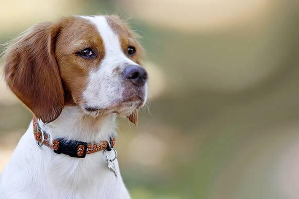 Бретонский эпаньоль – фото собаки, стандарт породы, цена щенка