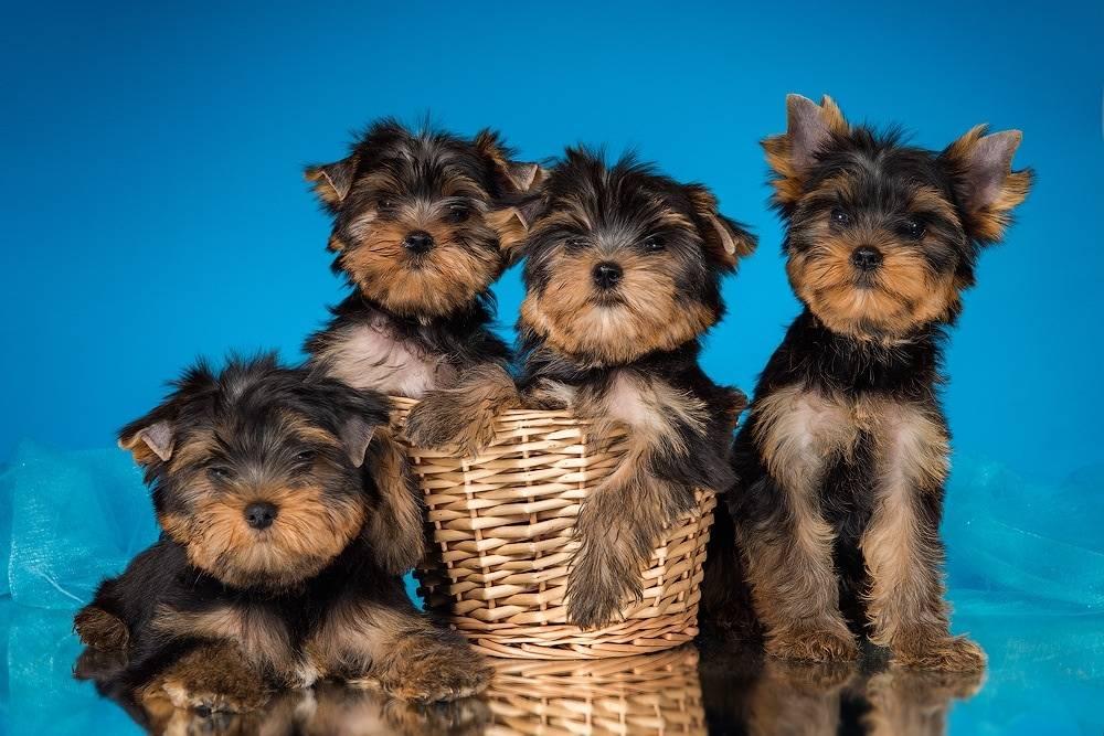 Клички для собак мальчиков той терьеров, имя для пинчера девочки