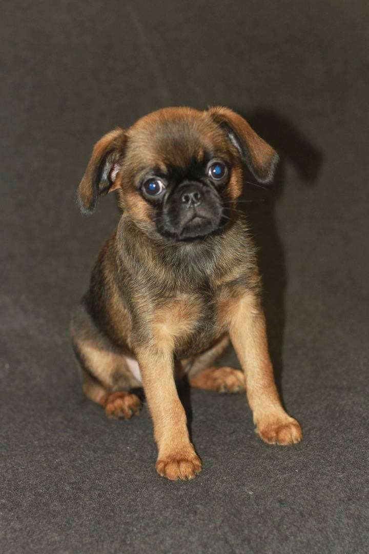 Характеристика собак породы брюссельский гриффон с отзывами и фото