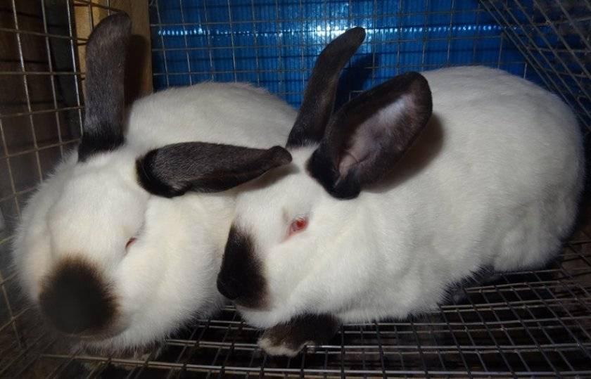 Породы кроликов для домашнего разведения: виды и описание кроликов мясного направления
