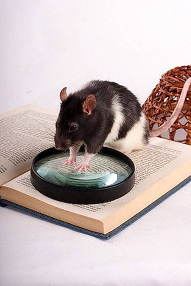 Подружиться с домашней декоративной крысой. просто и быстро приручаем маленького грызуна к рукам