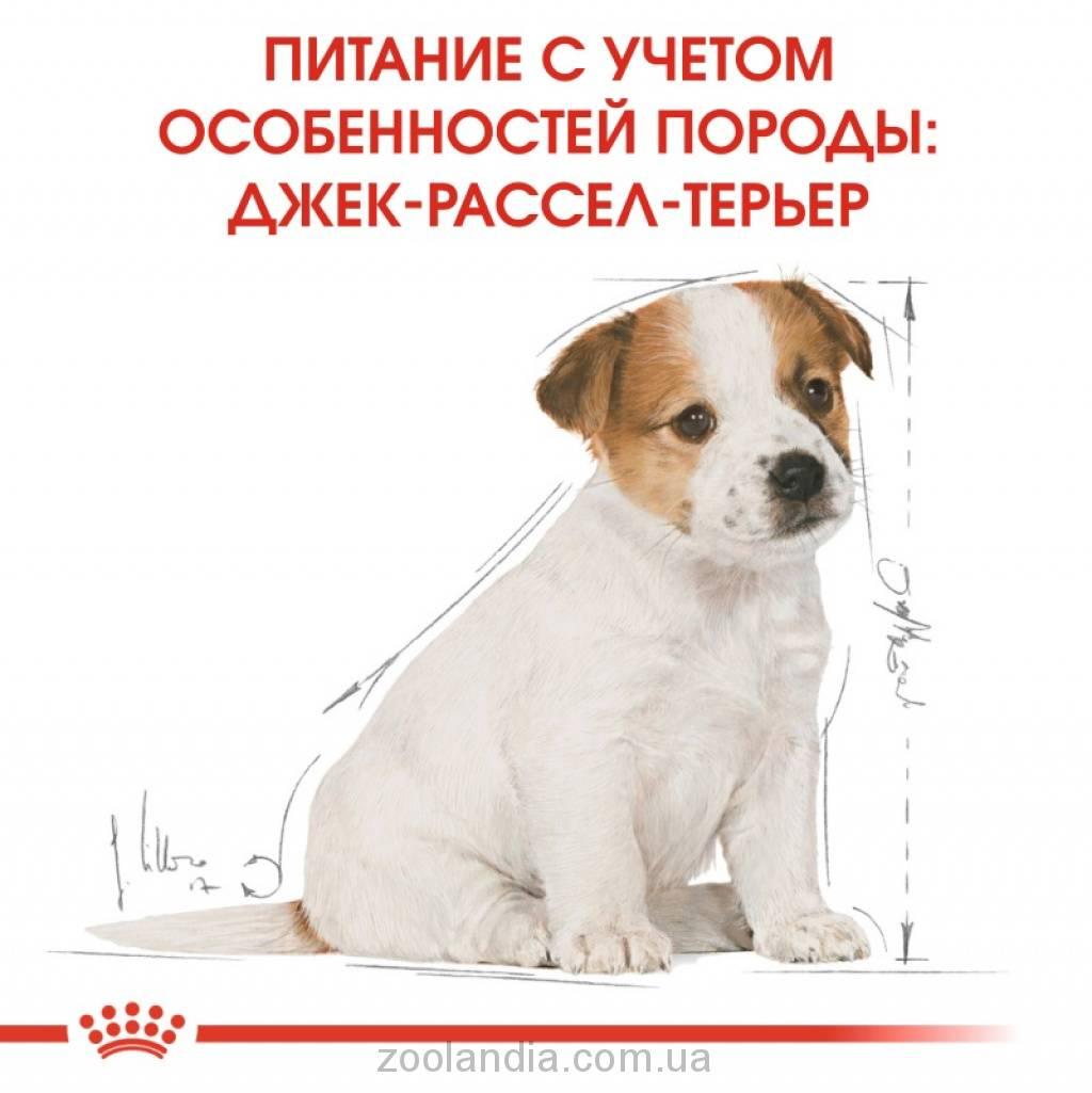 Чем кормить джек-рассел-терьера — от щенка до взрослой собаки ⋆ собакапедия