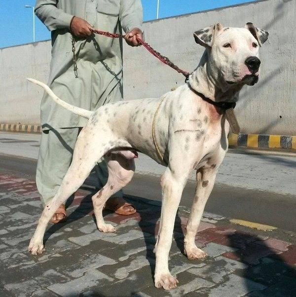 Характеристика породы собак гуль донг, правила содержания животного - домашние наши друзья