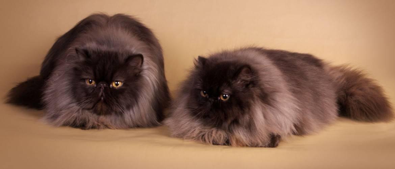 Персидская кошка - описание и характеристики породы, продолжительность жизни, питание, болезни и уход