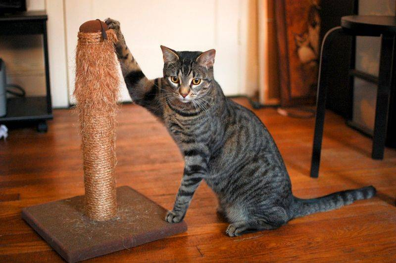 Как приучить взрослого кота к когтеточке и чем ее обработать