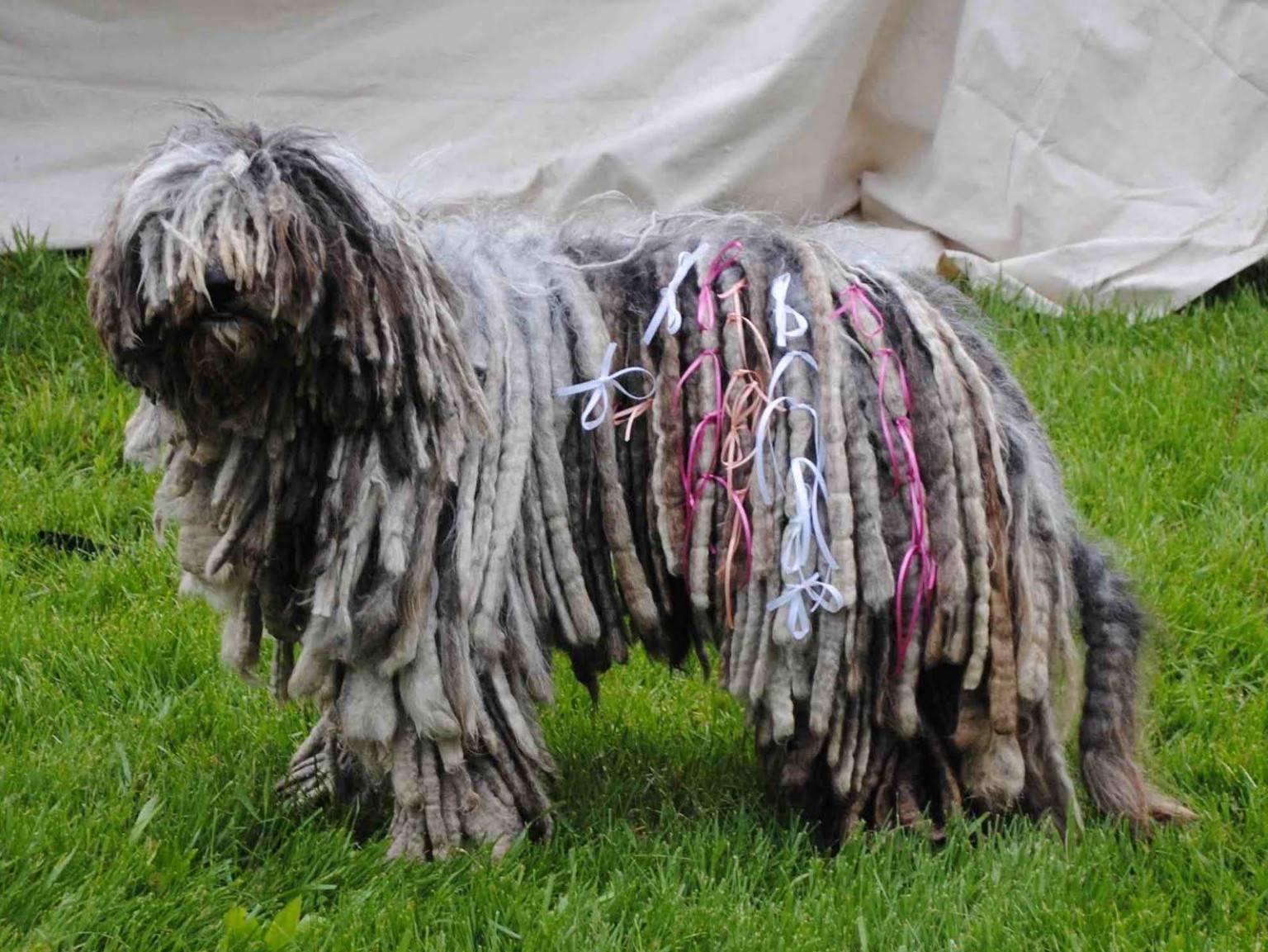 Собаки с дредами - комондор и другие породы с фото. - petstime.ru