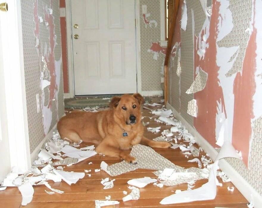 Собака скулит без причины, ночью или когда остается одна дома: почему и что делать?
