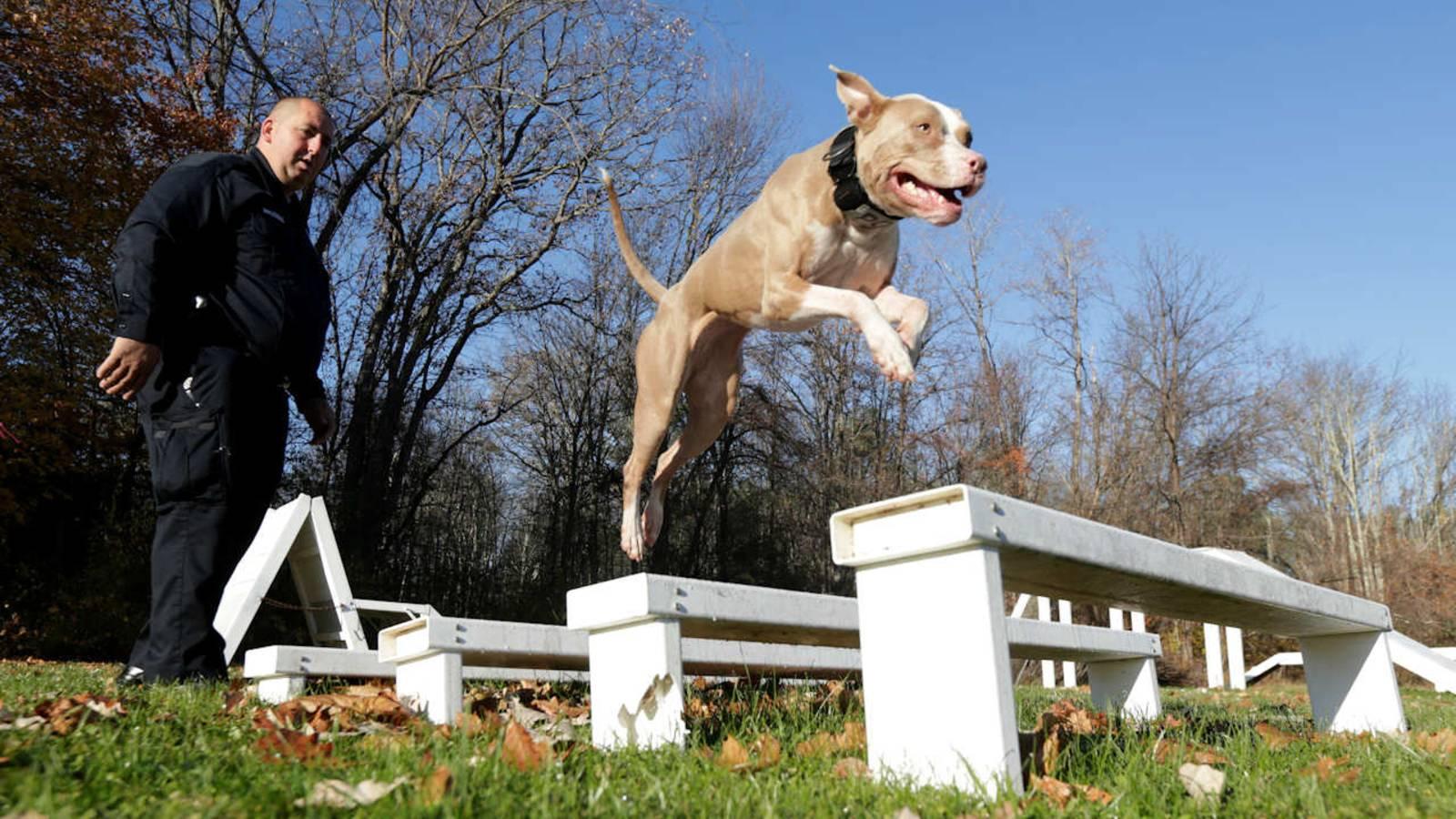 Чем кормить питбуля в домашних условиях: составление рациона для щенков и взрослых собак
