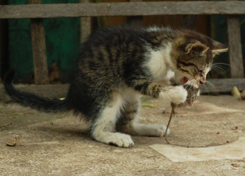 ᐉ кошки крысоловы порода фото и описание, кот похожий на крысу - zoo-mamontenok.ru