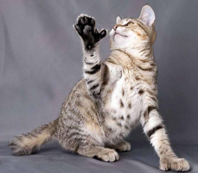 Кот пикси-боб: описание породы