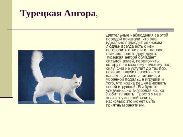 Ангорская порода кошек: описание породы, их характер и особенности ухода за турецкой ангорой