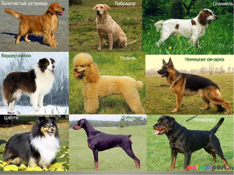 Самые неприхотливые собаки для квартиры – беспроблемные, послушные, спокойные и другие породы