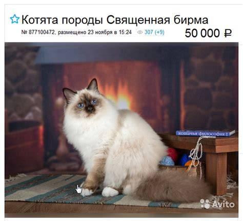 Бирманская кошка: описание породы и характера, особенности ухода, цена, фото