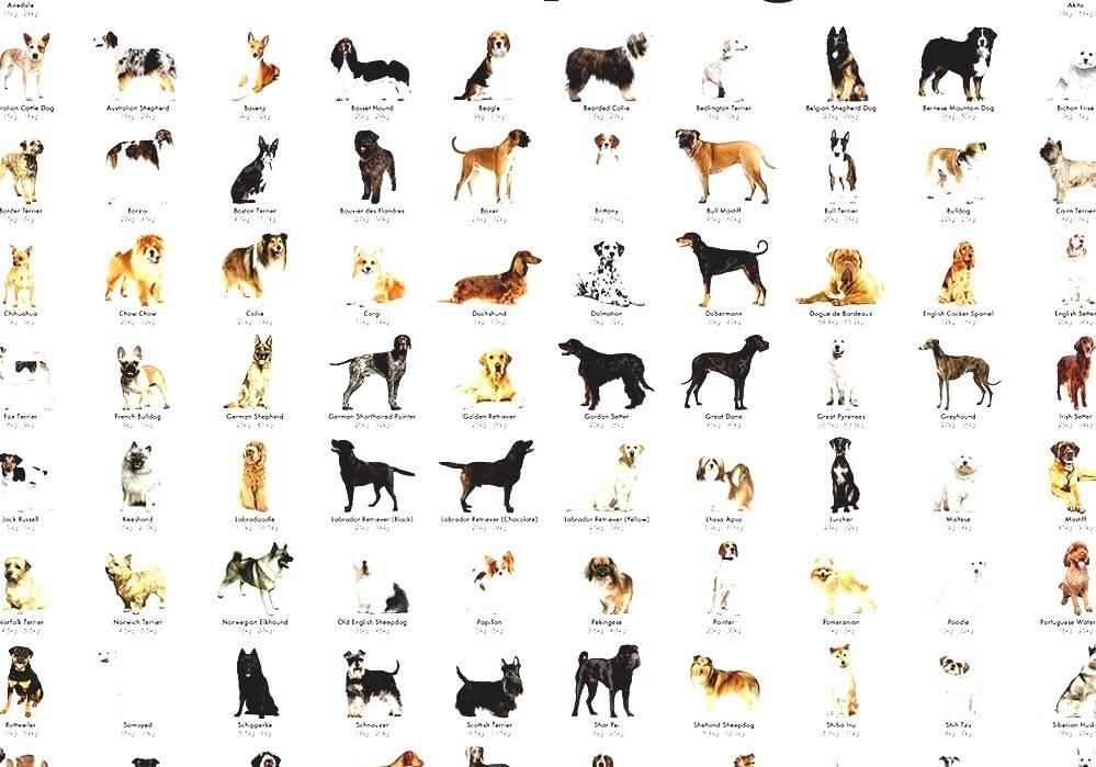 Средние породы собак: их названия и описание особенностей породы, фотографии, видео