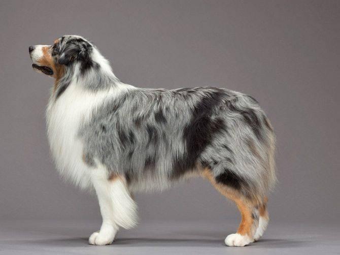 Характеристика породы австралийская овчарка аусси: темперамент, стоимость, отзывы