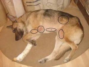 Почему собака лежит и скулит, что с этим делать?