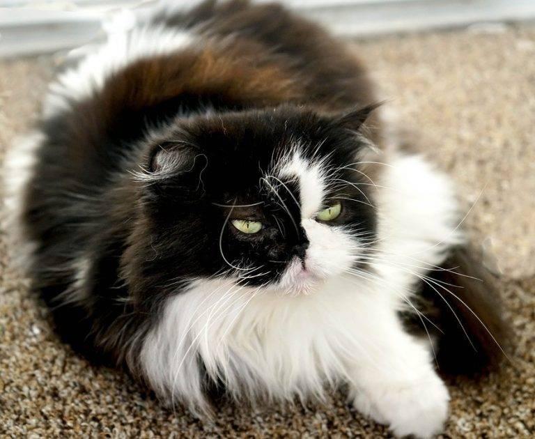 Гималайская кошка: описание, фото, цена, характер, уход и содержание породы