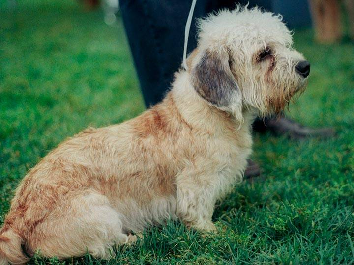 Характеристика породы собак денди-динмонт-терьер: внешность, характер, уход