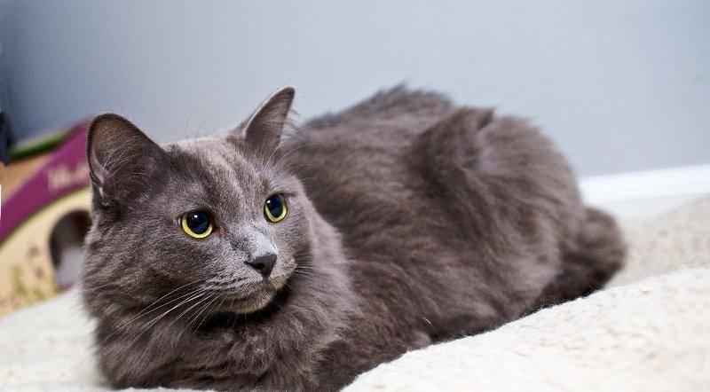 Порода кошек нибелунг: отличительные черты и особенности характера
