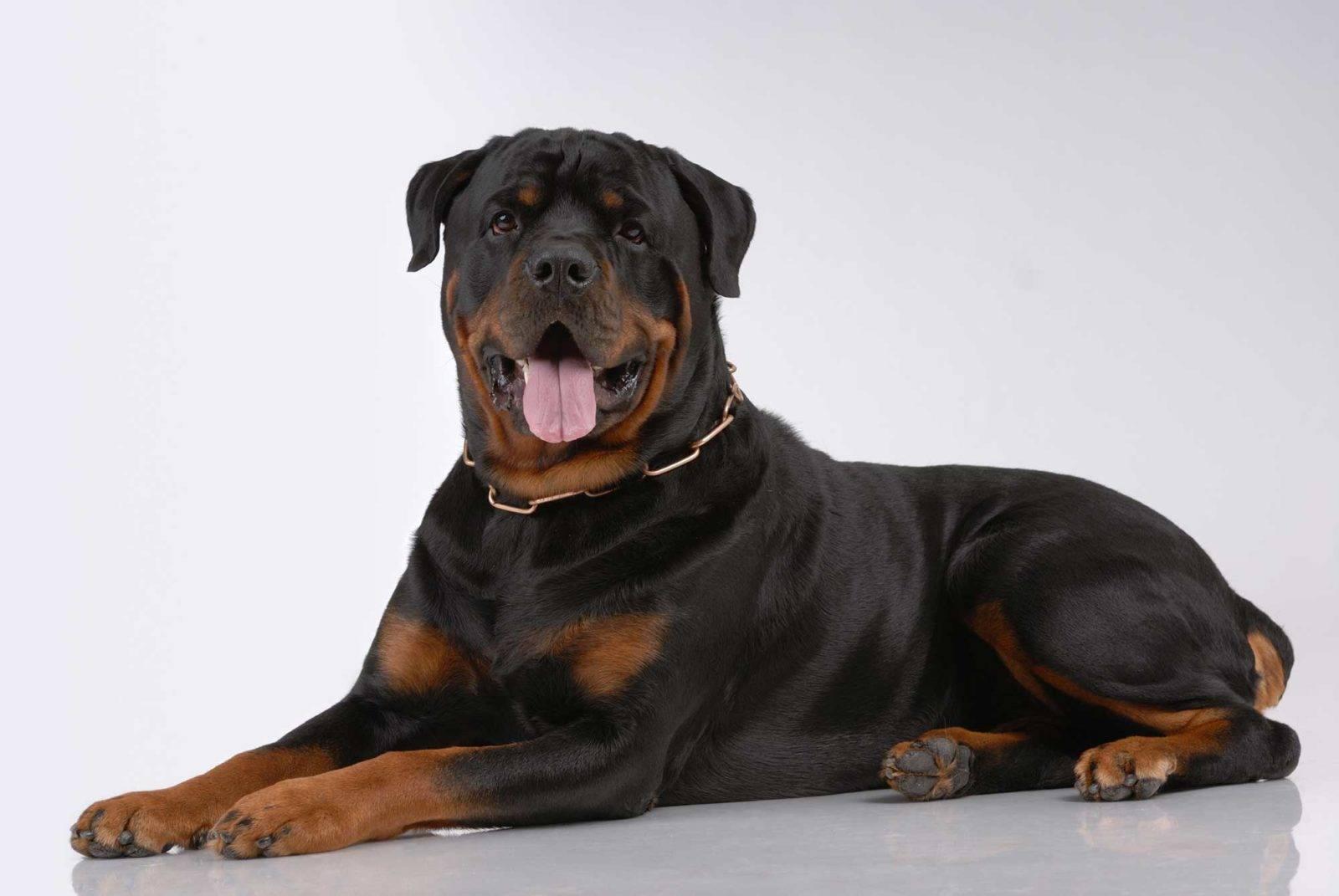 Собака для охраны частного дома — 6 лучших сторожевых пород