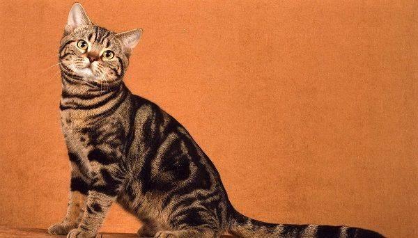 """Окрас """"табби"""": полосатая генетика, здоровье, характер. — обсуждение в группе """"кошки""""   птичка.ру"""