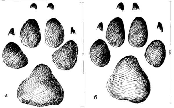 Как отличить след волка от следа собаки, отпечаток волчьей лапы