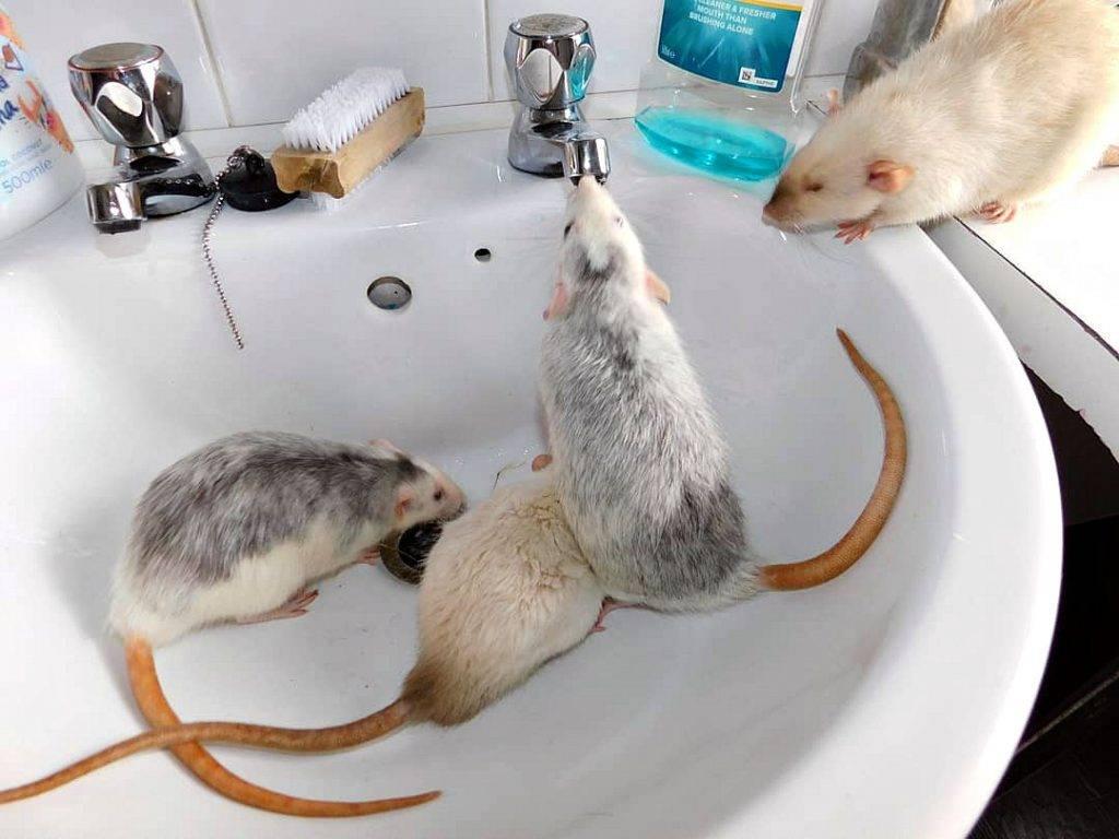 Белая декоративная мышь — мышка отличный декоративный домашний питомец