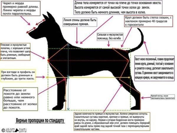 Холка у собаки: где находится и как правильно измерить