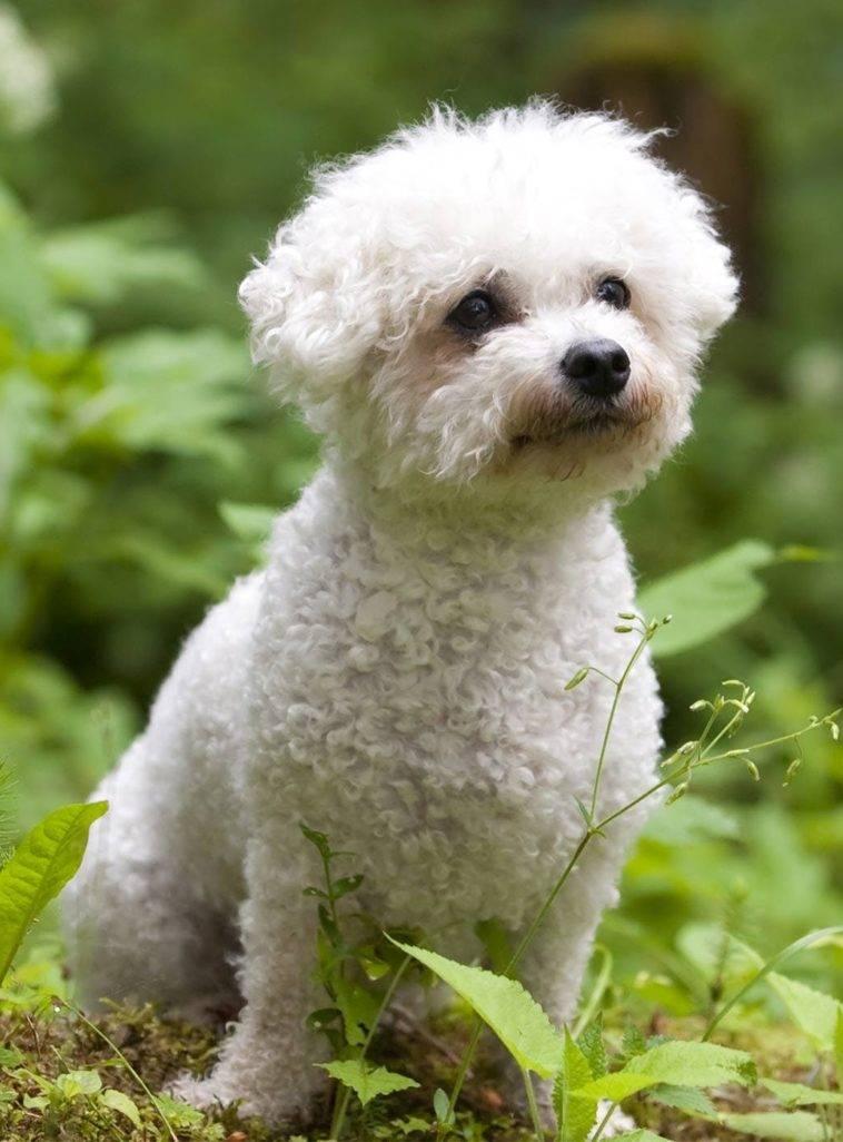 Правила ухода и содержания бишона фризе, фото стрижек. чем кормить и как воспитывать собаку?