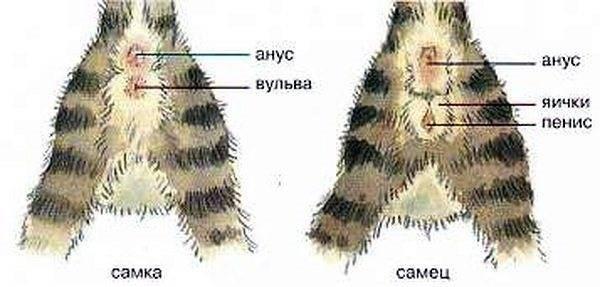 Как определить пол котенка: кот или кошка