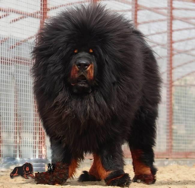 Гладкошерстные породы собак: список