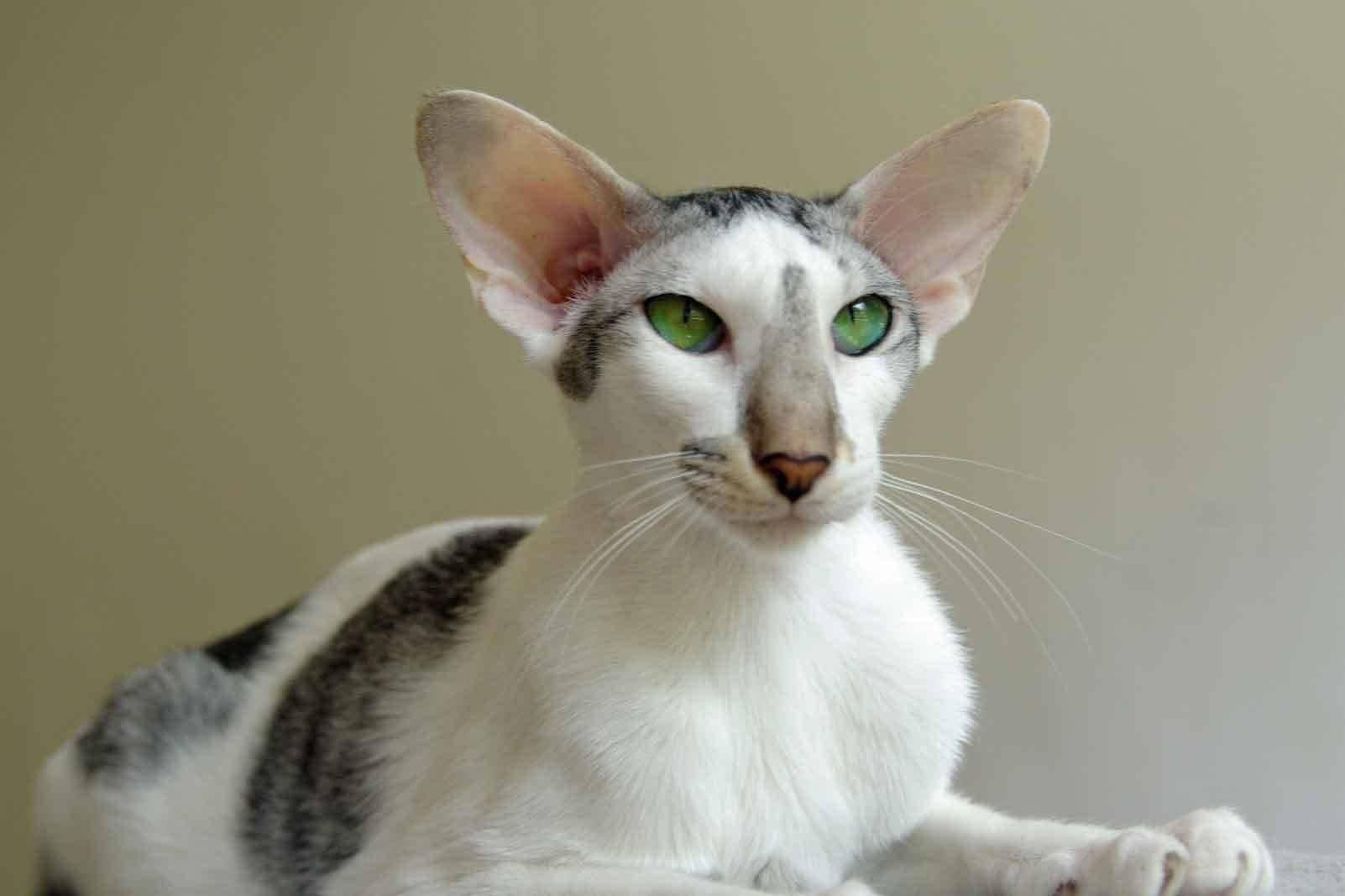 Кот с большими ушами порода - наши домашние друзья