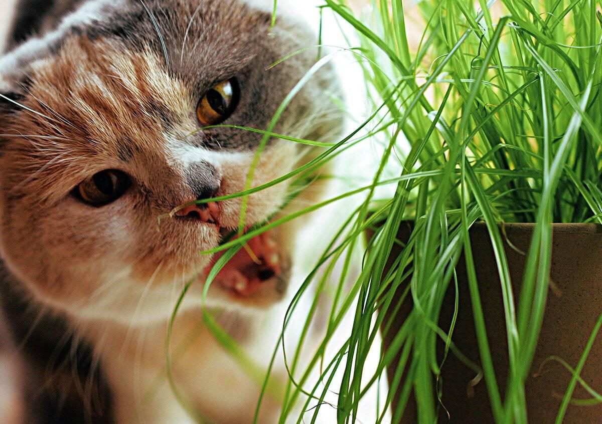 Вегетарианство в мире кошачьих: зачем кошки едят траву? — 4 лапки
