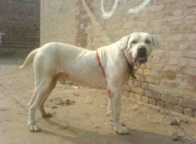 Пакистанский бульдог — бойцовская порода собак гуль донг: описание и характеристика. щит и меч: бойцовые породы собак гуль терьер описание породы