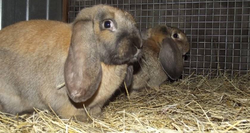 Кролик породы баран: характеристика, описание, разведение и содержание в домашних условиях