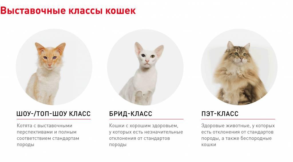 Как можно определить породу кошки: основные отличия породистых котов от обычных